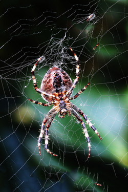 17 - Garden Spider Spinnerete By John Crooks