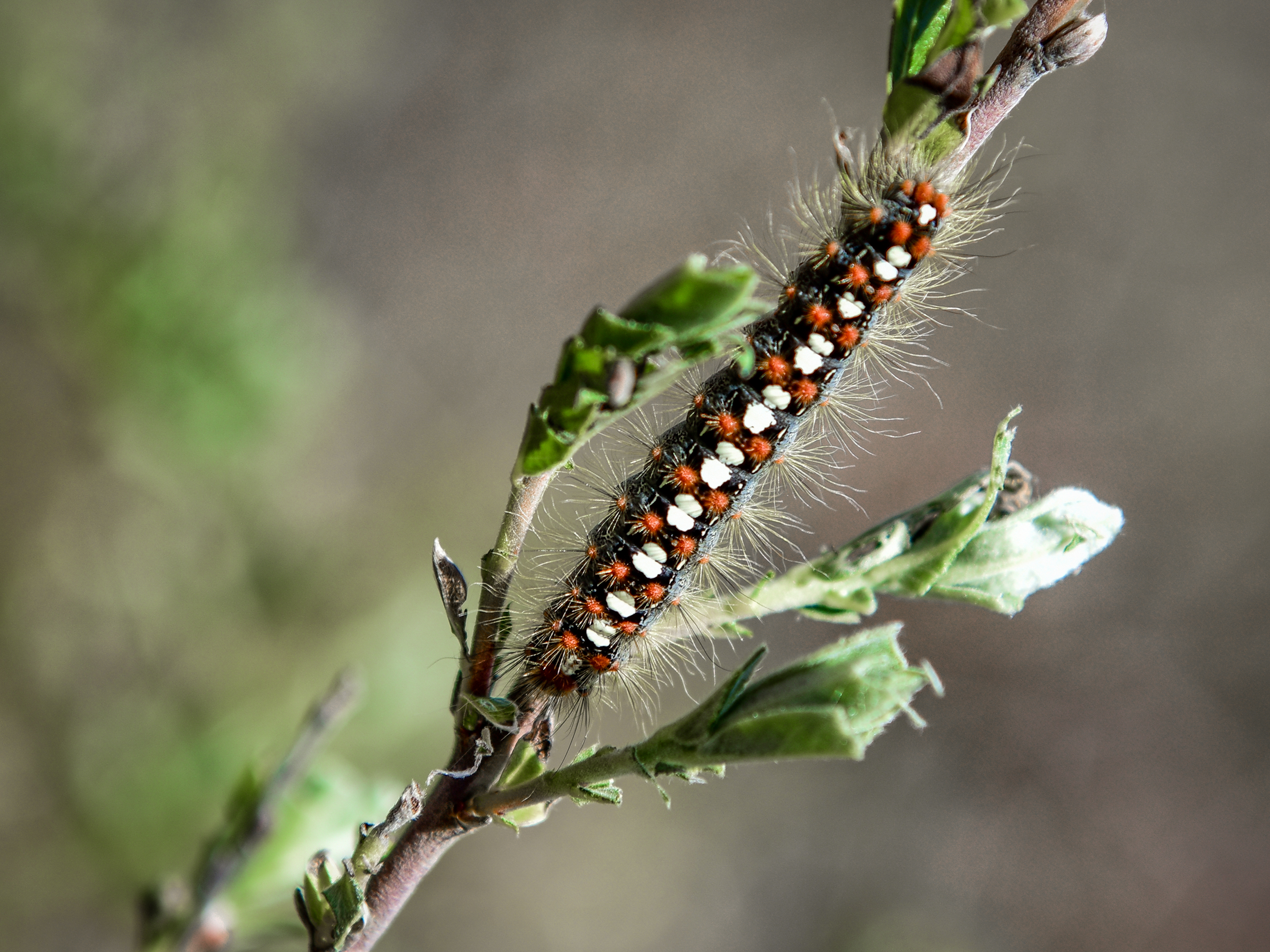 White Satin Moth caterpillar; Jim Small