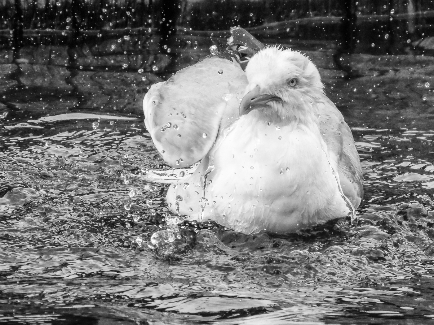 Bathing Seagull; Wendy Graham