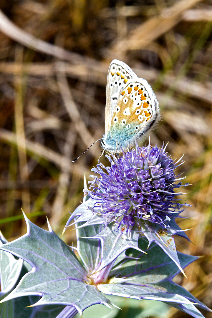 Colour 3rd Common Blue - Butterfly