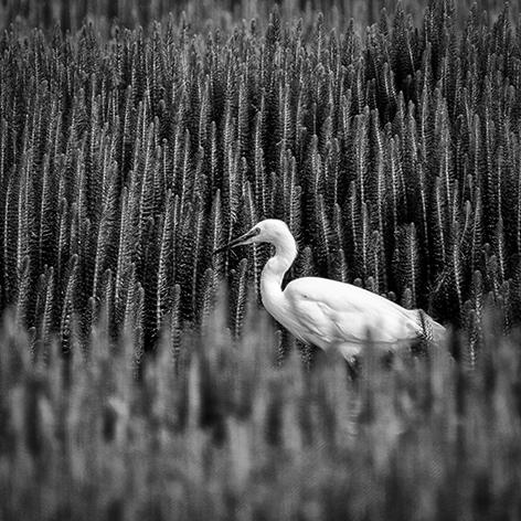 Little Egret; Giles Watts