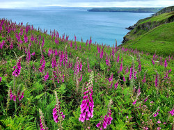 34 - Pentire Glaze with Foxgloves By Wendy Graham