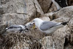 14 - Feeding time - Farne Island  By Mark Edwards