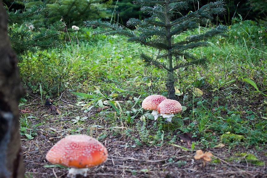 Christbaum aus dem Waldviertel