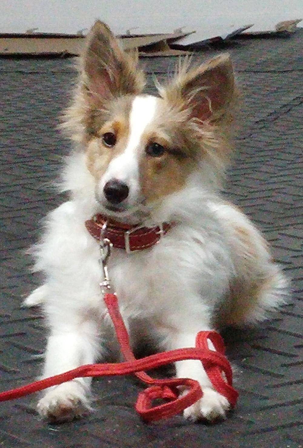 Shelby, Berger de Shetland, 6 mois