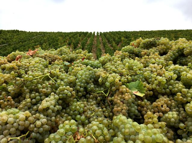 Domaine de Vauroux, Vins, Chablis, Olivier Tricon, 11.jpg