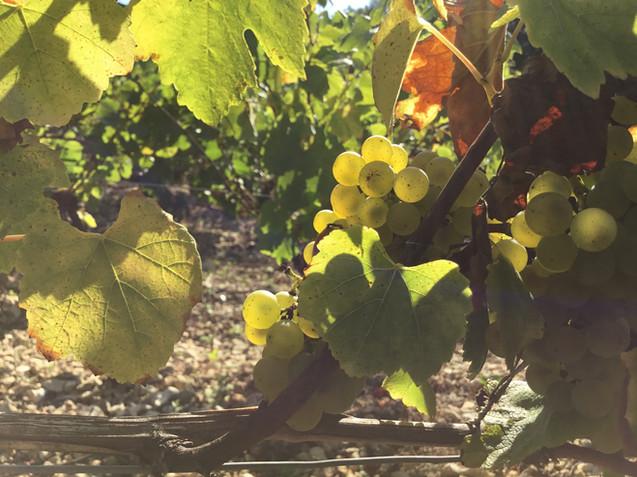 Domaine de Vauroux, Vins, Chablis, Olivier Tricon, 10.jpg