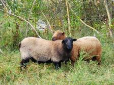 Rams in the Fall