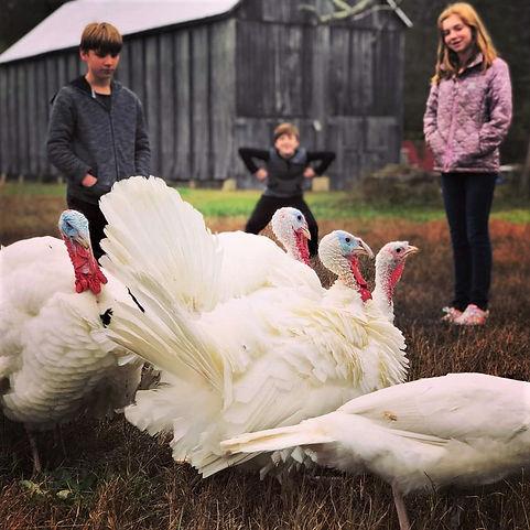 turkeys go visiting.jpg