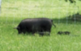 2019 In Grass with Piglets.jpg
