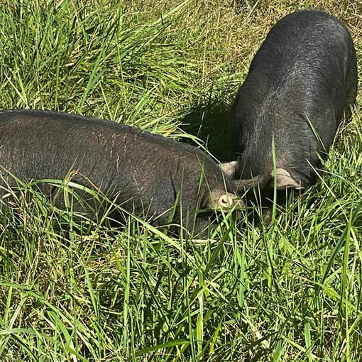 Piglets Available from Spring 2020 Litters