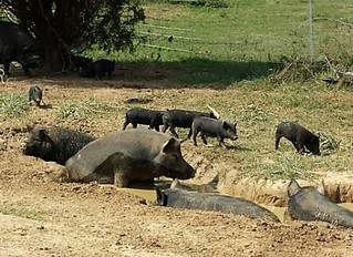 Keeping Hogs Healthy in Hot Weather