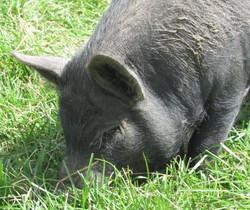 Sam as a piglet