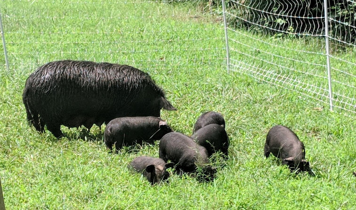 Piglets in the grass