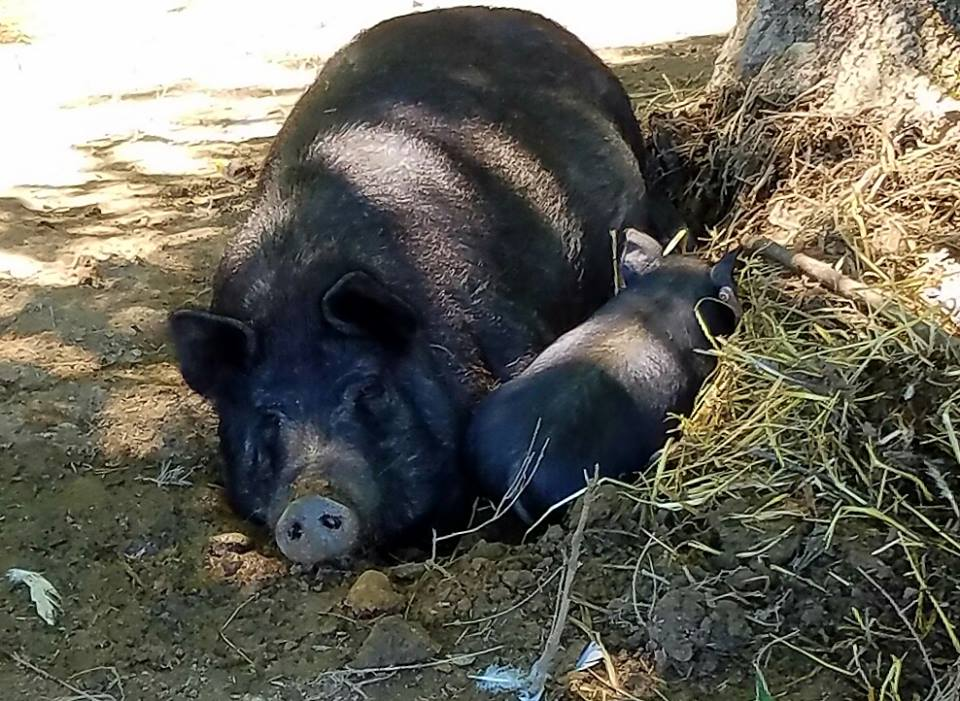 Eleanor sleeping with piglets