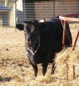 Dexter Beef - A Grass Fed Delight