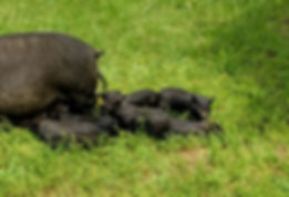 Amelia with piglets following.jpg