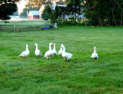 Geese in the Field