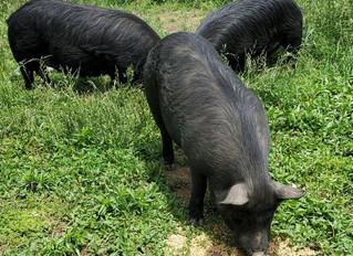 Fall 2020 Guinea Hog Breeding Groups