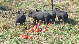 piglets with tomatoes.jpg