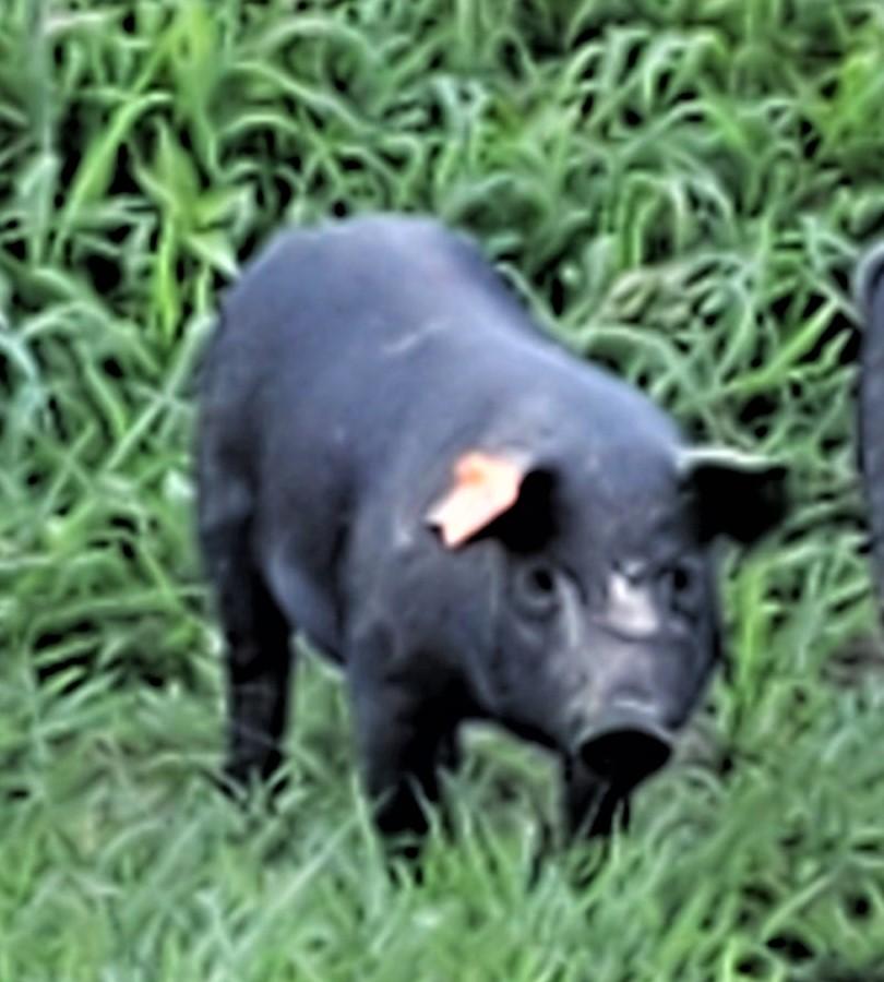 Janice as a Piglet