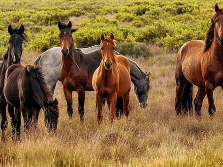 AUSTRALIA'S BRUMBIES… ICONIC OR INVASIVE?