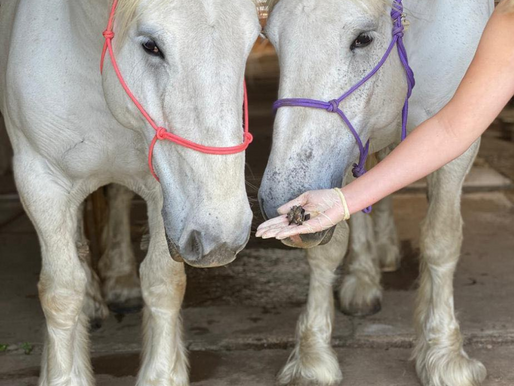 THE BEAN COUNTER : PROFESSIONAL EQUINE SHEATH CLEANING SERVICES