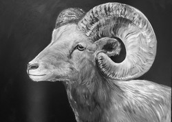 The competative spirit of the Big Horn