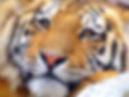 tiger-2207433_1920.jpg