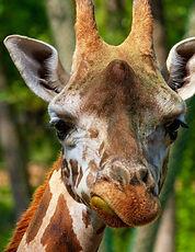 giraffe-3822686_1920.jpg