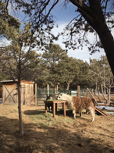 The Heart and Soul Animal Sanctuary rescue llamas