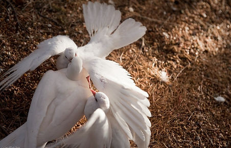The Heart and Soul Animal Sanctuary rescue doves