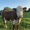 Thumbnail: Hereford Cow Greetings Card