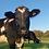 Thumbnail: Belgium Blue Cow Card Set (4 Pack)