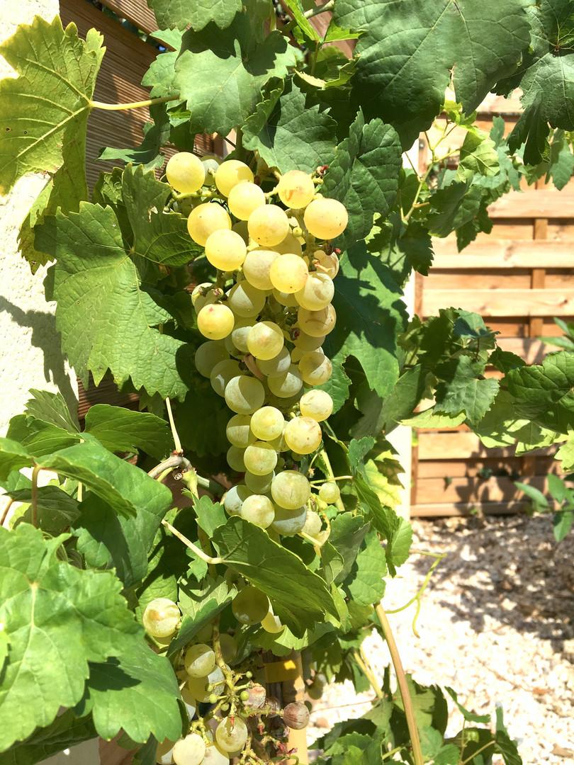Vine at La Vinya // Vigne de la Vinya