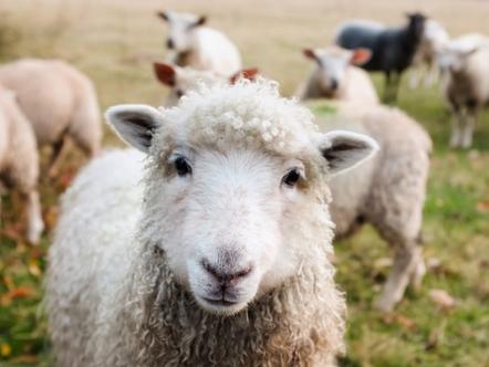 Ovinocultura: conheça essa produção que tanto cresce no país