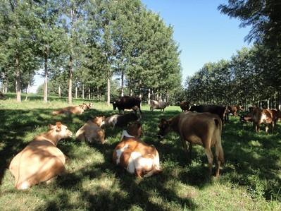 Pecuária Sustentável e os Sistemas de Integração Agrossilvipastoris