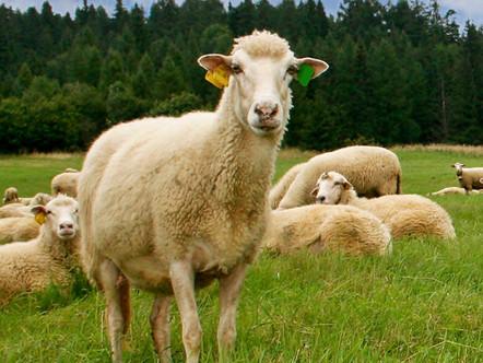 Principais técnicas de criação e manejo de ovinos de corte