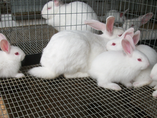 Criação e manejo de coelhos