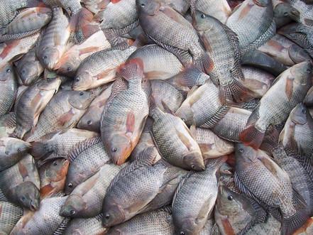 Como fisgar o mercado da piscicultura?