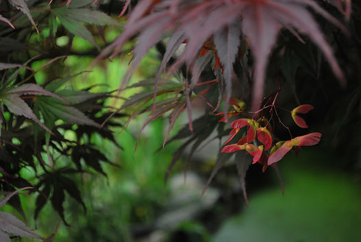 Close-up of a Japanese maple.