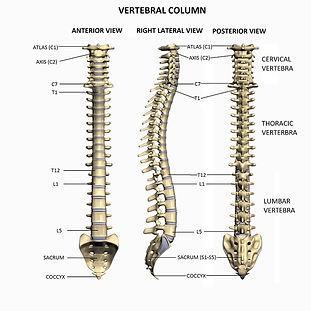 vertebral column hi resLABELED.jpg300e95