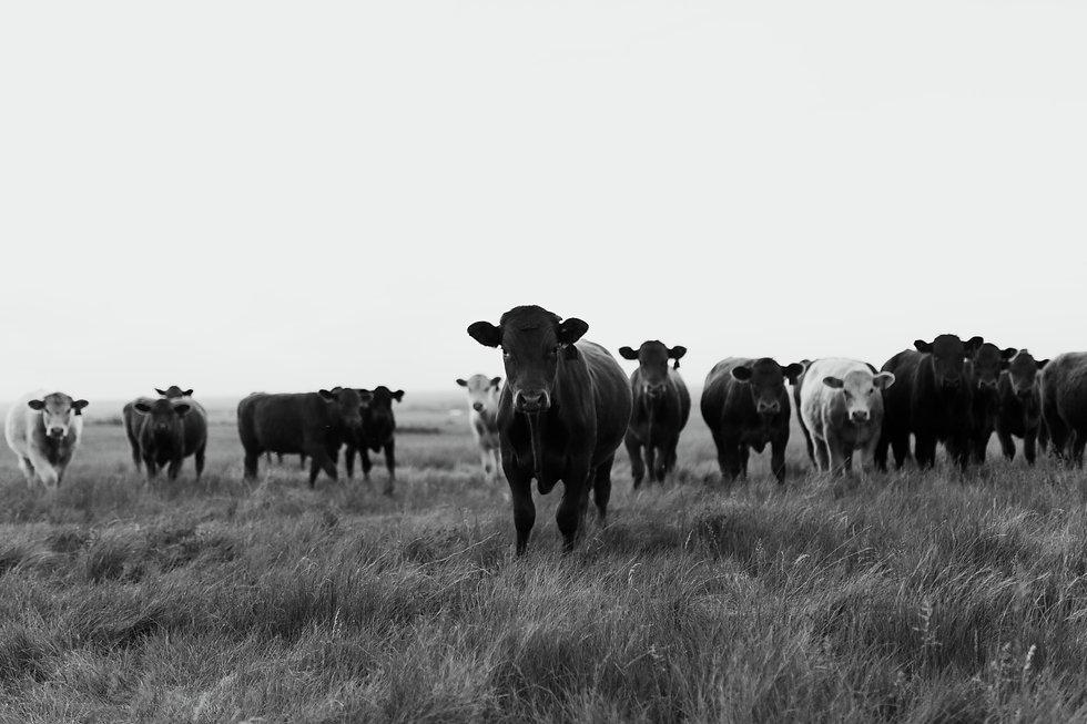 Saskatchewan cattle in the fields..jpg