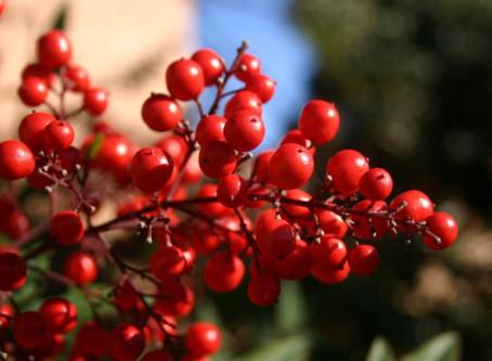 Crazy for Cranberries