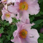 52 July extra - Anemone - Japanese windf