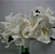 15 Rhododendrun - Tilly aston - Lyn Aust