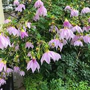 20 Tree Dahlias - Kathy Read.jpg