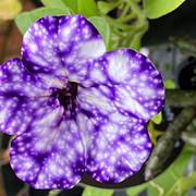 34 Petunia 'Night Sky' - Elizabeth Dobso