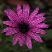 33 Osteospermum - Charles Sega.JPG