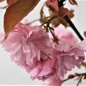 16 Flowering Cherry - Robin Austin.jpg